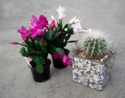 Weihnachtskaktus - und Kaktus